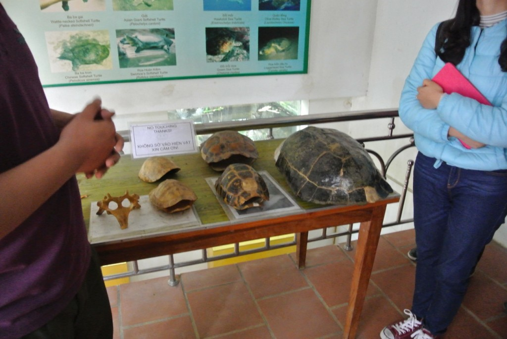 右の大きな甲羅が、約20年前のもの。左の小さな甲羅が、近年の同種のもの。乱獲により、年々見つけられる個体のサイズが小さくなっているとのこと。