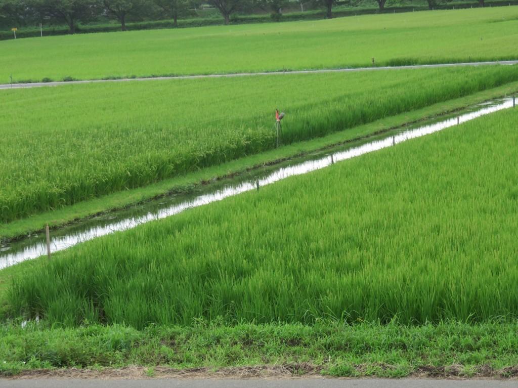 吉田地域の田んぼの風景