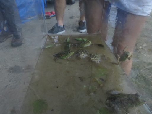 田んぼでカエルを大量に捕まえた結果の水槽