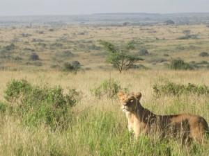 lion_Pantheraleo_Teppei_Dohke